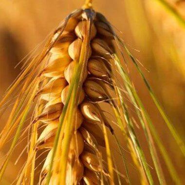 Гидролизованный белок пшеницы против дряблости кожи