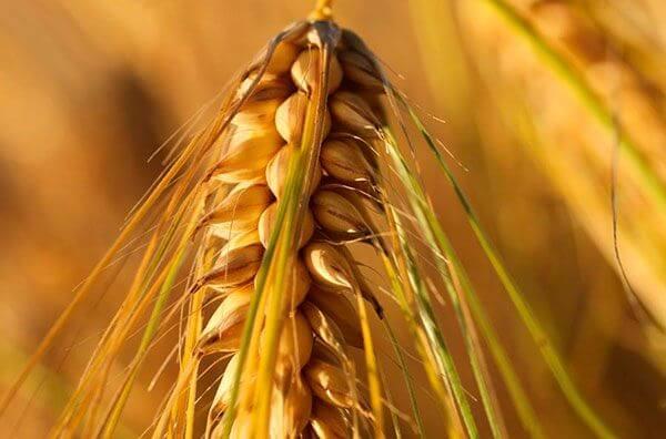 Гидролизованный белок пшеницы в Leorex